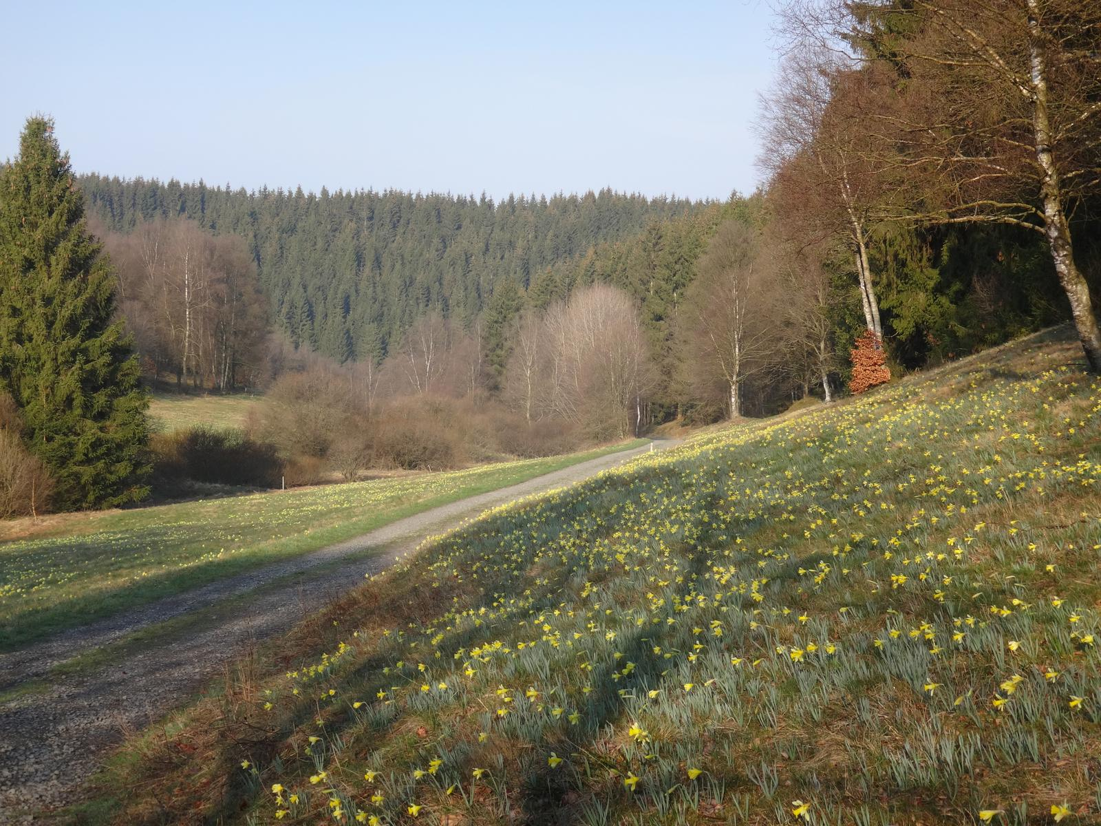 Photo of Perlenbach valley and wild daffodils - Narzissen 30 km