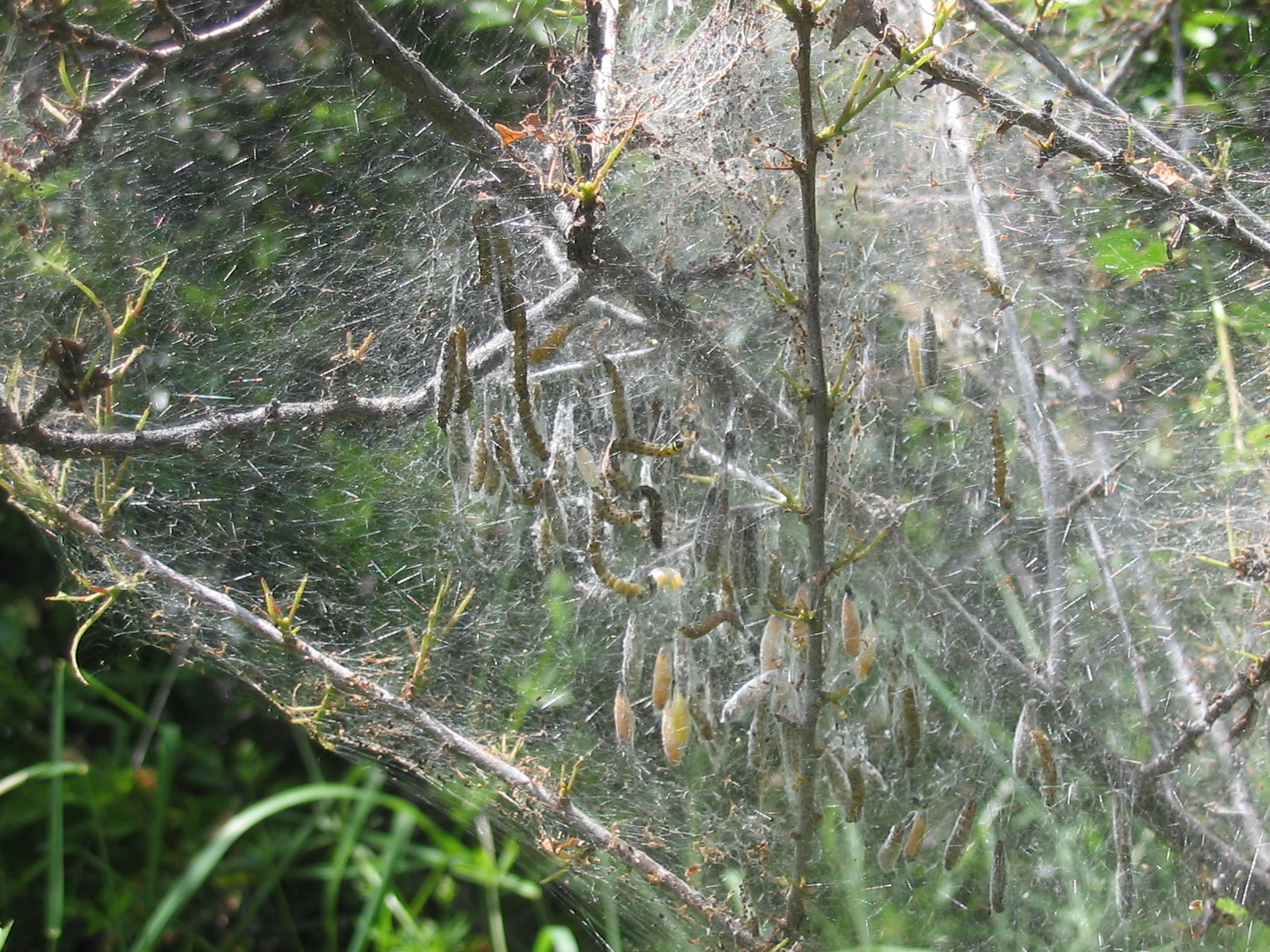 Photo de catterpillar's webs